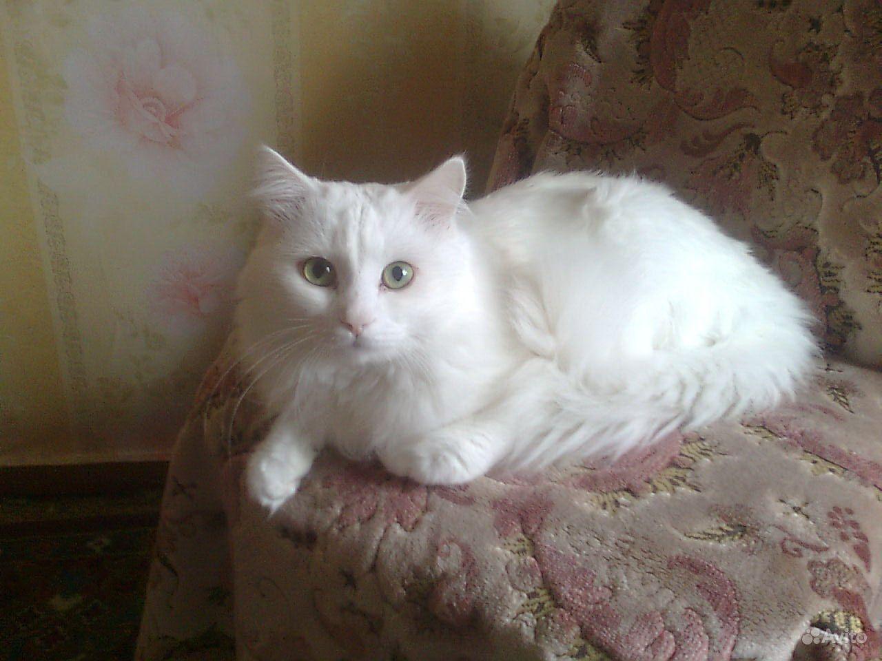 Фото сибирская ангора котят 2