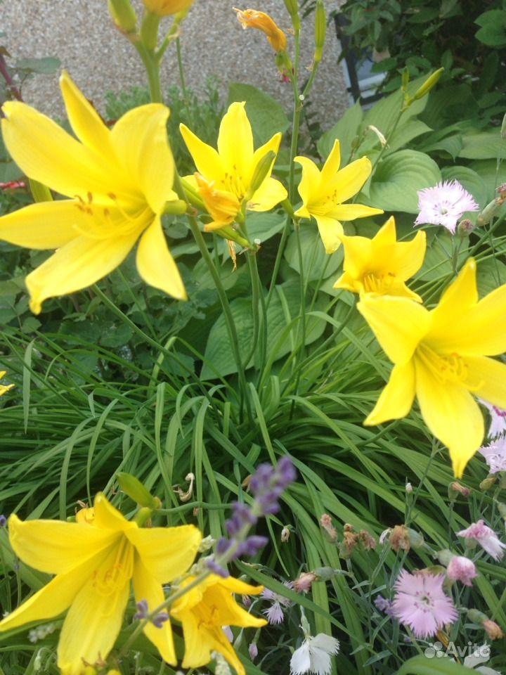Садовые многолетники :лилейники,медуница 2 вида,ба купить на Зозу.ру - фотография № 1