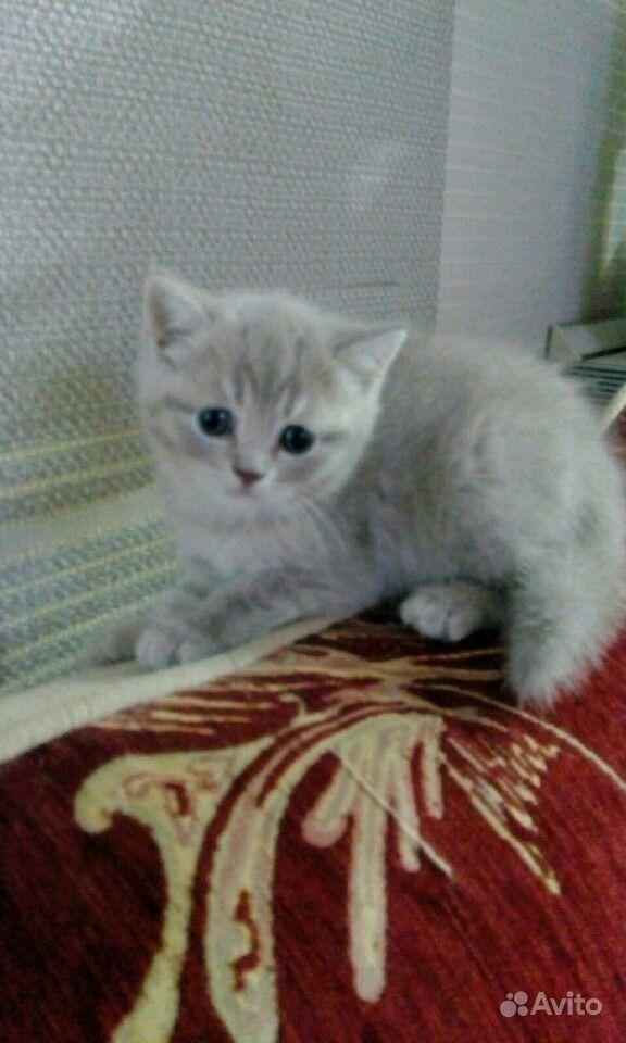 Британские котята в Саратове - фотография № 1