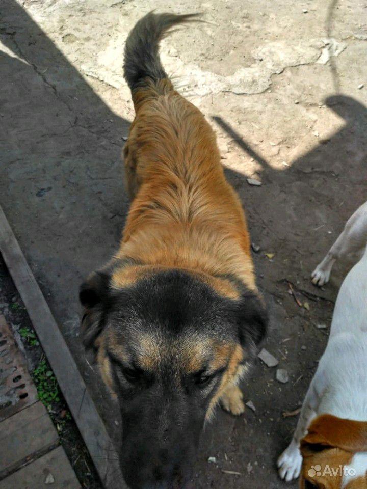 Отдам собак в Омске - фотография № 7