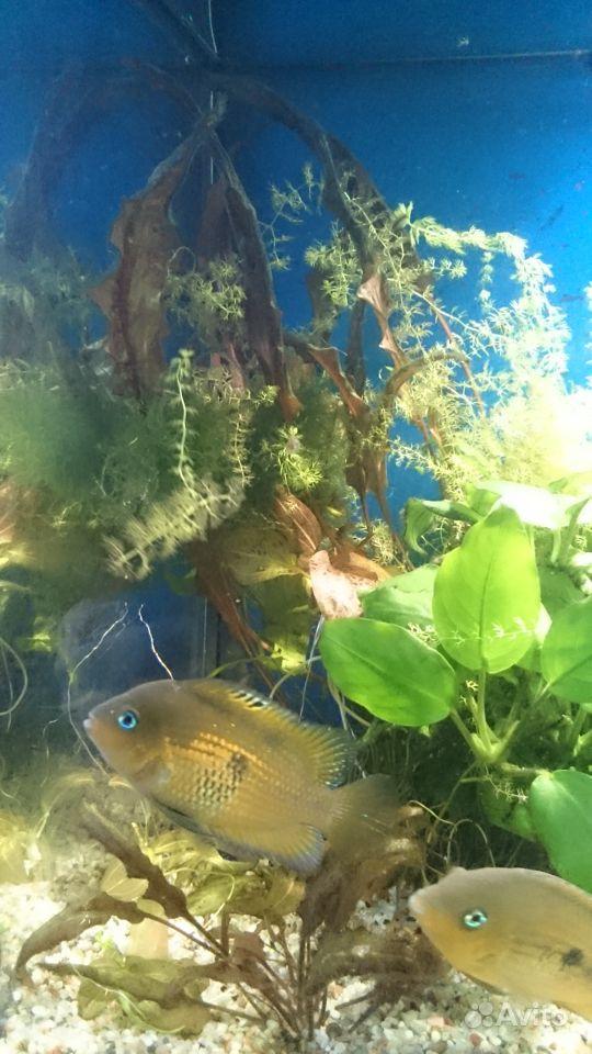 Цихлазома мирная в большой аквариум