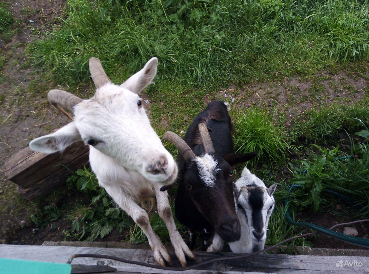 2 козы + козлик за символическую плату