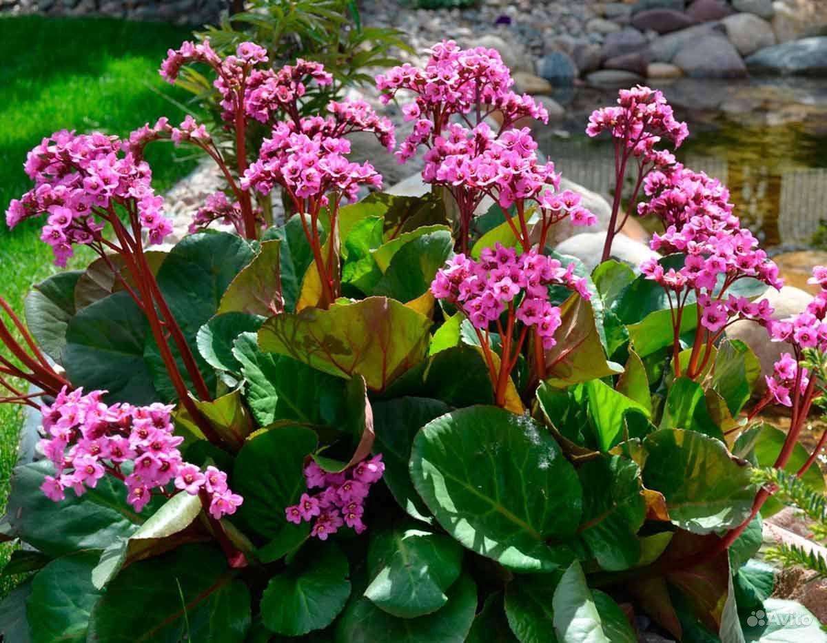 Многолетние цветы купить на Зозу.ру - фотография № 3