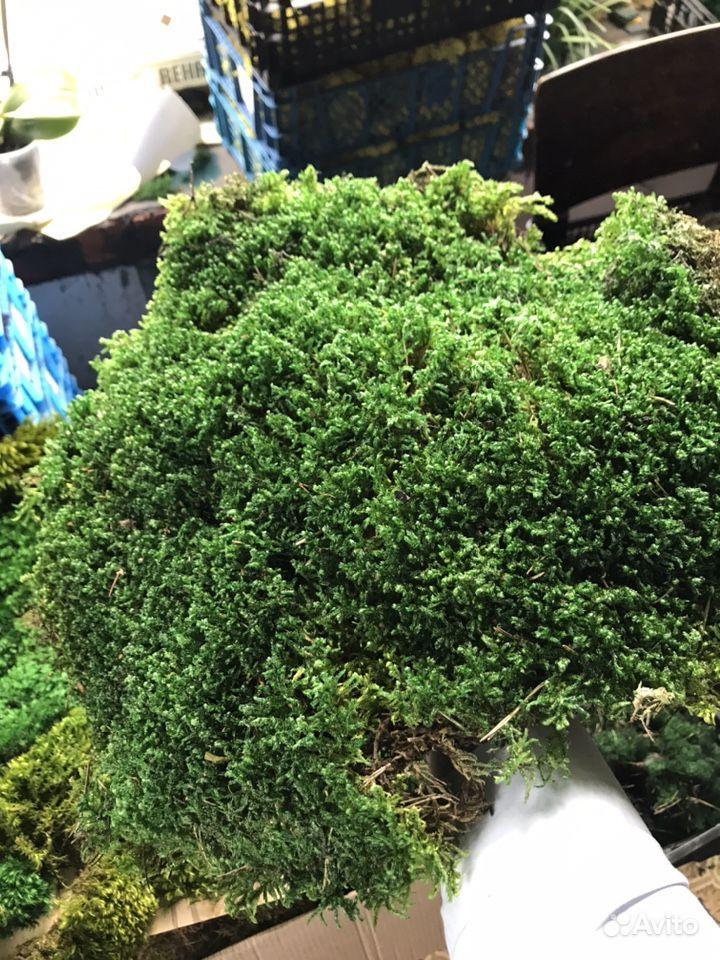 Стабилизированный мох пластовой (толстый) купить на Зозу.ру - фотография № 3