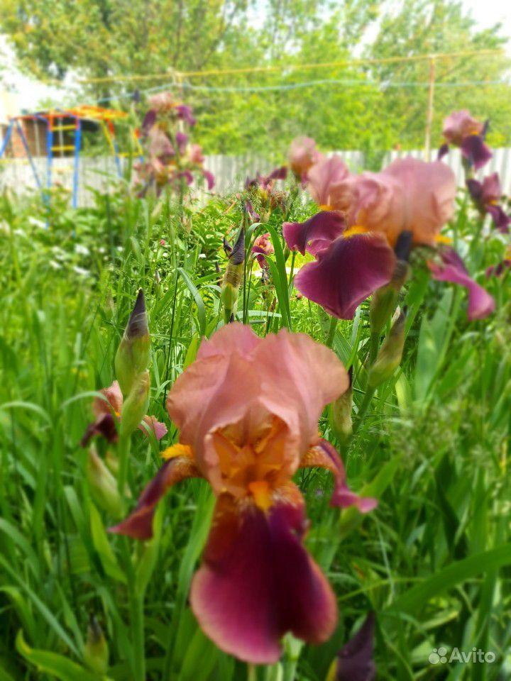 Цветы садовые купить на Зозу.ру - фотография № 6