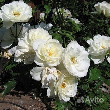 Саженцы роз купить на Зозу.ру - фотография № 5