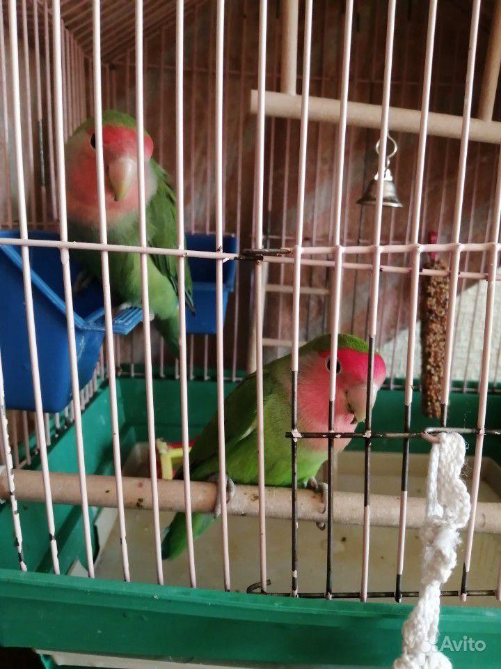 Попугаи неразлучники купить на Зозу.ру - фотография № 2