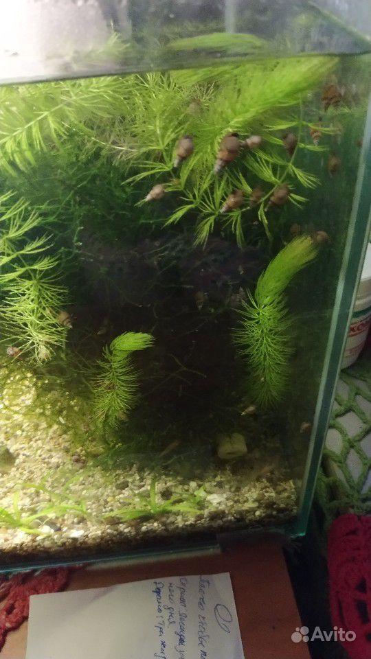 Аквариумное растение купить на Зозу.ру - фотография № 1