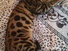 Кот бенгальский
