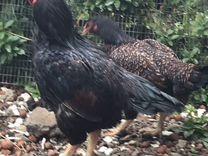 Петух и курица породы Корниш