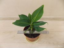 Домашний банан - комнатное растение