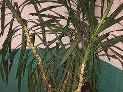 Пальма Юкка 3 метра