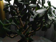 Толстянка (денежное дерево )