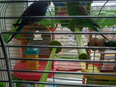 Волнистые попугаи 2 шт. с клеткой