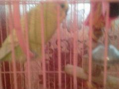 Продам попугая самец, молодой 4 месяца в мести с к
