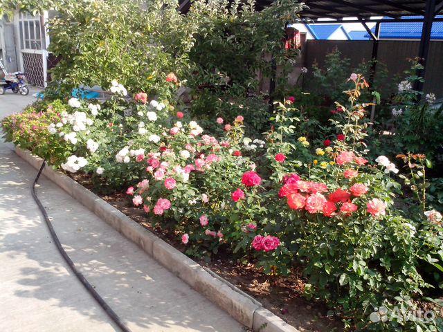 Купить в краснодарском крае саженцы роз