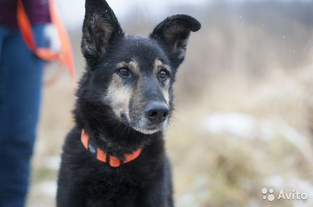 Собака с проникновенным взглядом ждет хозяина купить на Зозу.ру - фотография № 4