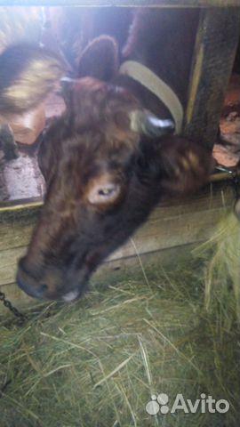 Электронная купить стельную корову в кстово сможете скачать