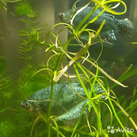 Рыбки Гурами  89529634426 купить 1