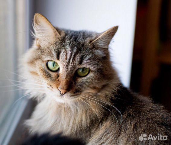 Пушистая сибирская кошка в добрые руки