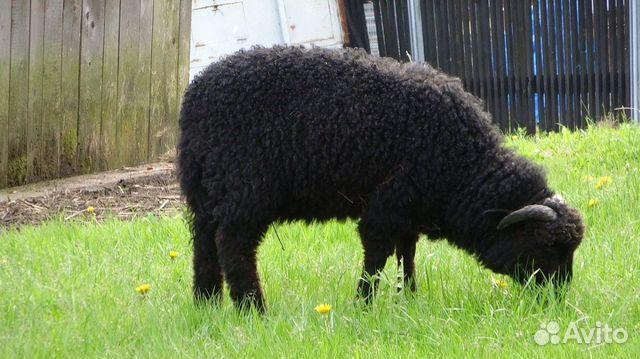 Овцы и барашек