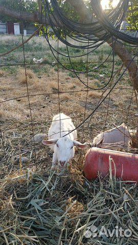 Коза дойная 89220666092 купить 2