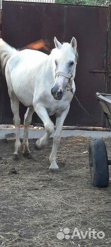 Лошадь  89187715500 купить 1