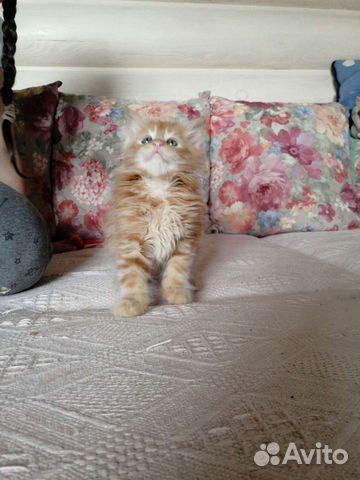Котята мейн куны  89271841714 купить 5