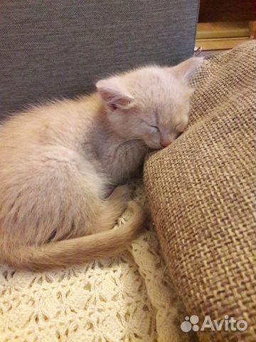 Кошка  89174311719 купить 1