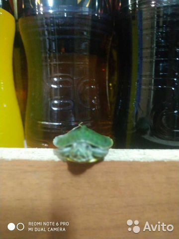 Красноухая черепаха  89898743974 купить 2