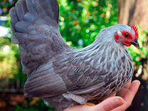Породная птица