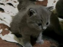 Шотланские котейки вислоухие