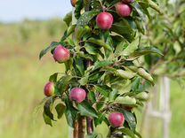 Молодой яблоневый интенсивный сад 11 га