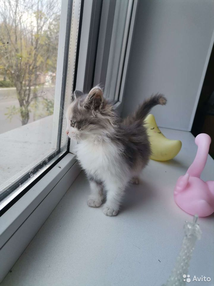 Котенок ищет дом  89997246628 купить 5