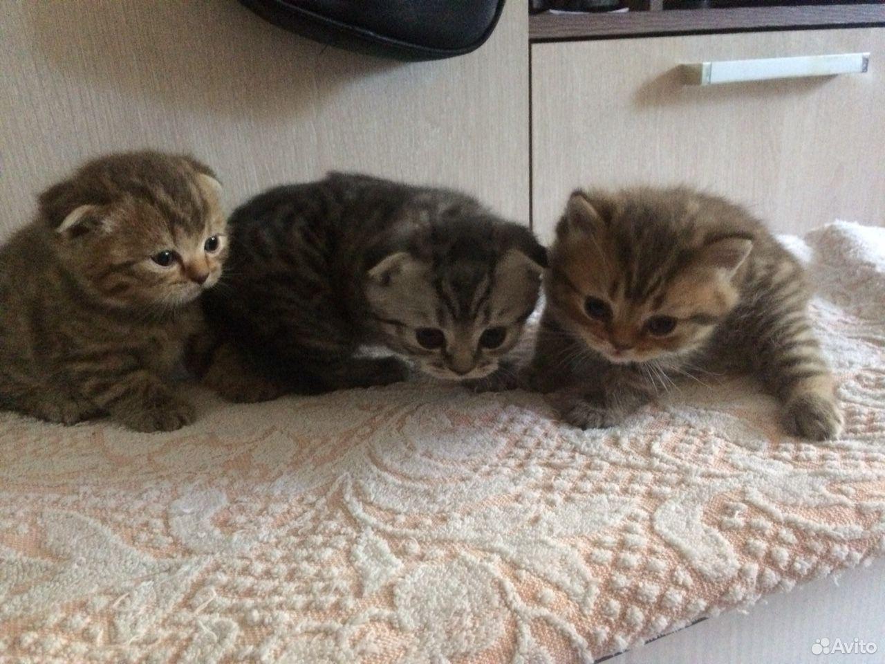 Scottish kittens  89081189556 buy 1