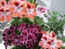 Цветущие пеларгонии 25 сортов