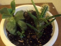 Мини садик в горшке — Растения в Рязани