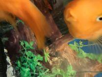 Рыба-попугай. Цихлида. Очень, очень крупная 25 см