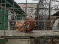 Голуби павлины — Птицы в Москве