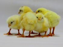 Цыплята бройлеры импорт вывод 11.06.2019